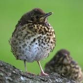 Song thrush. Juvenile. Wanganui, December 2006. Image © Ormond Torr by Ormond Torr