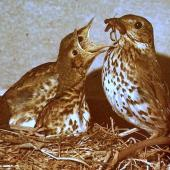 Song thrush. Adult with chicks in nest. Palmerston North, December 1976. Image © Alex Scott by Alex Scott