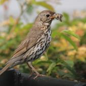 Song thrush. Adult with bill-full of slugs and worms. Hastings, November 2011. Image © Adam Clarke by Adam Clarke