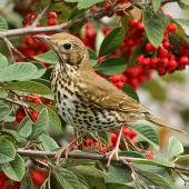 Song thrush. Adult. Wanganui, June 2011. Image © Ormond Torr by Ormond Torr