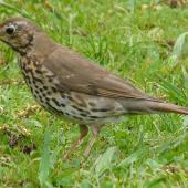 Song thrush. Adult collecting worms. Hamilton Zoo, October 2011. Image © Alan Tennyson by Alan Tennyson