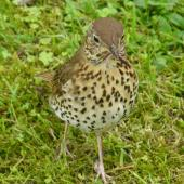 Song thrush. Adult collecting worms. Hamilton Zoo, October 2011. Image © Alan Tennyson by Alan Tennyson Alan Tennyson