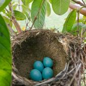 Song thrush. Nest with four eggs. Kerikeri, Northland, November 2011. Image © Neil Fitzgerald by Neil Fitzgerald www.neilfitzgeraldphoto.co.nz