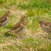 Song thrush. Adult and two juveniles. Lake Ohau, October 2012. Image © Albert Aanensen by Albert Aanensen