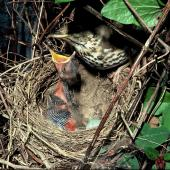 Song thrush. Adult at nest containing one chick and an egg. Invercargill, October 1979. Image © Department of Conservation (image ref: 10047914) by Dick Veitch, Department of Conservation Courtesy of Department of Conservation