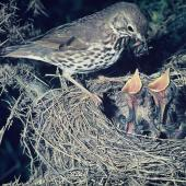 Song thrush. Adult feeding 2 chicks in nest. , November 1974. Image © Department of Conservation (image ref: 10030904) by Barry Harcourt, Department of Conservation  Courtesy of Department of Conservation