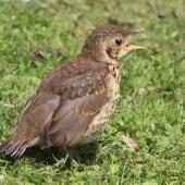 Song thrush. Fledgling calling. Virginia Lake, December 2015. Image © Robert Hanbury-Sparrow by Robert Hanbury-Sparrow