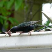 Common starling. Adult carrying worms to the nest. Ohakune, December 2011. Image © Joke Baars by Joke Baars