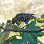 Common starling. Adult feeding on a ripe fig. Waikato, May 2018. Image © Joke Baars by Joke Baars