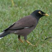Common myna. Adult. Auckland Domain, November 2010. Image © Philip Griffin by Philip Griffin www.philipgriffin.com