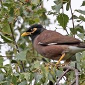 Common myna. Adult. Havelock North, January 2010. Image © Dick Porter by Dick Porter