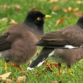 Common myna. Adults. Wanganui, May 2012. Image © Ormond Torr by Ormond Torr