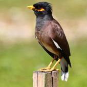 Common myna. Adult showing undertail. Rarotonga, October 2011. Image © Craig Steed by Craig Steed