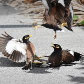Common myna. Two pairs fighting. Mission Heights,  Auckland, February 2016. Image © Marie-Louise Myburgh by Marie-Louise Myburgh