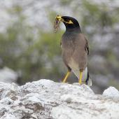 Common myna. Adult carrying insect prey. Waiotapu, January 2013. Image © Brian Anderson by Brian Anderson BaPhotographic