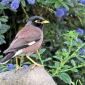 Common myna. Adult. Havelock North, November 2009. Image © Dick Porter by Dick Porter
