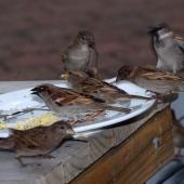 House sparrow. Group of adults feeding at cafe table. Auckland, July 2009. Image © Peter Reese by Peter Reese
