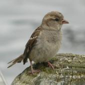 House sparrow. Adult female. Lake Rotoroa, Hamilton, January 2012. Image © Alan Tennyson by Alan Tennyson