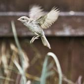House sparrow. Adult female in flight. Te Puke, February 2013. Image © Raewyn Adams by Raewyn Adams