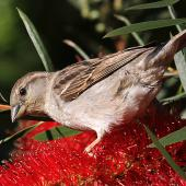 House sparrow. Female feeding on Callistemon flower. Wanganui, November 2010. Image © Ormond Torr by Ormond Torr