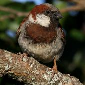 House sparrow. Adult male with aberrant plumage colour. Wanganui, January 2011. Image © Ormond Torr by Ormond Torr