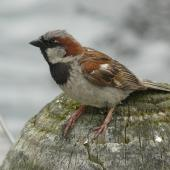 House sparrow. Adult male in profile. Lake Rotoroa, Hamilton, January 2012. Image © Alan Tennyson by Alan Tennyson