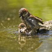 House sparrow. Mating and bathing. Auckland. Image © Eugene Polkan by Eugene Polkan