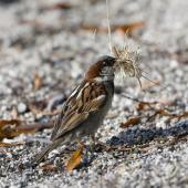 House sparrow. Adult male collecting nesting material. Lake Tarawera, January 2010. Image © Phil Battley by Phil Battley