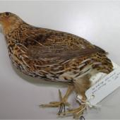 New Zealand quail. Adult male specimen in Canterbury Museum (AV3371). Dunedin. Image © Colin Miskelly by Colin Miskelly