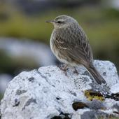 New Zealand pipit. Adult Antipodes Island pipit. Antipodes Island, January 2011. Image © David Boyle by David Boyle