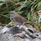 New Zealand pipit. Chatham Island adult showing wingbar markings. Forty Fours,  Chatham Islands, December 2009. Image © Mark Fraser by Mark Fraser
