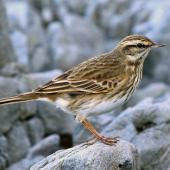 New Zealand pipit. Adult on rock. Island Bay, June 2015. Image © Duncan Watson by Duncan Watson
