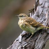 New Zealand pipit. Adult. Great Barrier Island, March 2019. Image © Mark Lethlean by Mark Lethlean