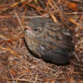 New Zealand pipit. Juvenile Auckland Island pipit. Campbell Island, January 2008. Image © Andrew Maloney by Andrew Maloney
