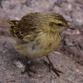 New Zealand pipit. Antipodes Island fledgling. Antipodes Island, February 2009. Image © Mark Fraser by Mark Fraser