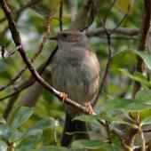 Dunnock. Adult. Karori Sanctuary / Zealandia, August 2015. Image © George Curzon-Hobson by George Curzon-Hobson http://birdingaroundwellington.blogspot.co.nz/