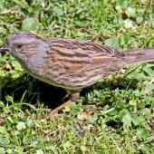 Dunnock. Adult. Havelock North, November 2010. Image © Dick Porter by Dick Porter