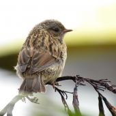 Dunnock. Fledgling. Kaikoura Peninsula, December 2016. Image © Scott Brooks (ourspot) by Scott Brooks