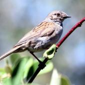 Dunnock. Adult. Havelock North, January 2010. Image © Dick Porter by Dick Porter