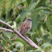 Dunnock. Adult singing. Tasman Bay, November 2013. Image © Rob Lynch by Rob Lynch