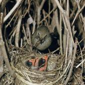 Dunnock. Adult at nest containing chicks. . Image © Department of Conservation (image ref: 10036488) by Mike Soper Courtesy of Department of Conservation
