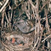 Dunnock. Adult at nest containing chicks. . Image © Department of Conservation (image ref: 10032219) by Mike Soper Courtesy of Department of Conservation