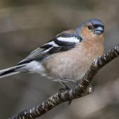 Chaffinch. Adult male. Routeburn roadend, Mt Aspiring National Park, November 2015. Image © Ron Enzler by Ron Enzler http://www.therouteburntrack.com
