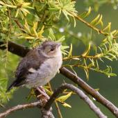 Chaffinch. Fledgling. Palmerston North, November 2014. Image © Alex Scott by Alex Scott