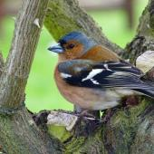 Chaffinch. Adult male. Springlands, Blenheim, September 2016. Image © Bill Cash by Bill Cash