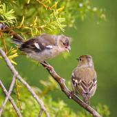 Chaffinch. Fledgling (left) being fed by adult female. Palmerston North, November 2014. Image © Alex Scott by Alex Scott