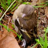 Chaffinch. Fledgling. Hortobágy, Hungary, Europe, May 2017. Image © Tamas Zeke by Gabor Zeke