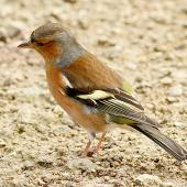 Chaffinch. Non-breeding male. Wanganui, May 2015. Image © Ormond Torr by Ormond Torr