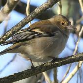 Chaffinch. Female. Wanganui, July 2010. Image © Ormond Torr by Ormond Torr