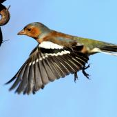 Chaffinch. Adult male. Te Awanga, Hawke's Bay, July 2011. Image © Dick Porter by Dick Porter Feeding on flax seeds